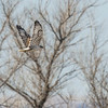 Ferruginous Hawk - Light Morph.