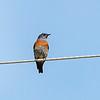 Western Bluebird male.