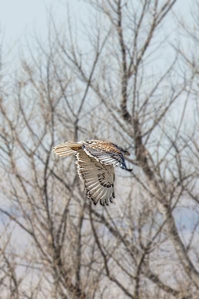 Ferruginous Hawk - Light Morph.