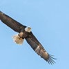 Bald Eagles are also migrating north, although some resident eagles stick around all winter in Calgary.