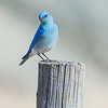 Mountain Bluebird male.