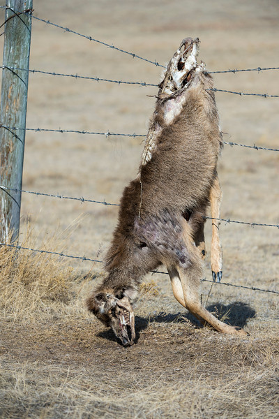 One of natures cruel realities.  A deer got hung up on a fence, making easy pickings for predators.