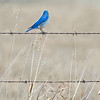 Mountain Bluebird male. Beautiful bright blue colour.
