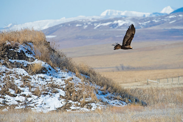 Eagles such as this Golden Eagle, arrive when the gophers start coming out of hibernation.  The are also attracted to ranches and farms at this time when the cattle are having calves.  Like many other predators they feed on the afterbirth.