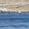 Tundra Swans in migration.