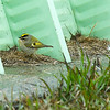 A Golden-crowned kinglet searches for food by a farm building.
