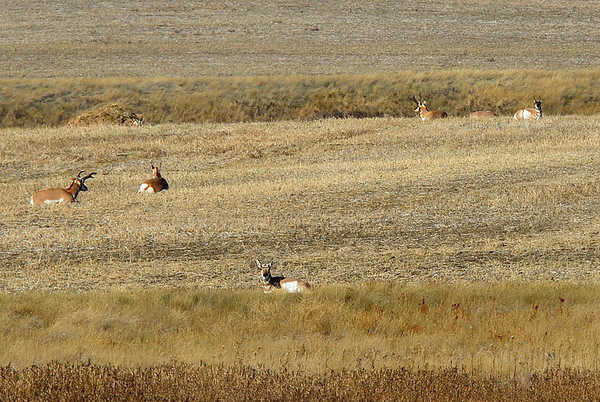While it is not uncommon to see antelope this far north today, it was rare 40 years ago.