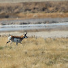 The Pronghorn Antelope (technically not an antelope), is the fastest land animal in the Western Hemisphere running up to 55 mph in short distances.  Cited as second only to the cheetah. It can, however, sustain high speeds longer than cheetahs.
