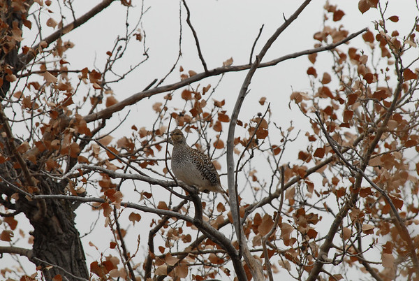 Sharp-tailed Grouse.