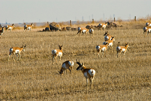 In late fall and winter herds are mixed sexes. I have seen large herds of close to 100 animals although they are normally much smaller.