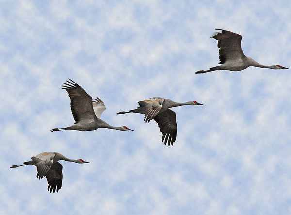 Sandhill Cranes fly in huge numbers during their migration with a very loud and distinctive warbling sound.