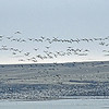 A lift of Snow Geese (white) take off with other geese, looking for a morning feed on the wheat fields.