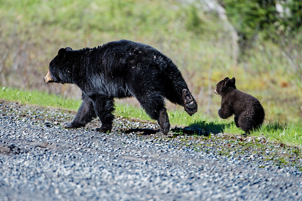 The mother showed us her behind (and bottoms of her feet) and took off down the road, with the cub close behind.