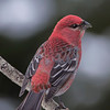 Adult male Pine Grosbeak