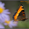 Butterflies are hard to capture in the air.  I caught this one in flight, moving to another patch of asters.