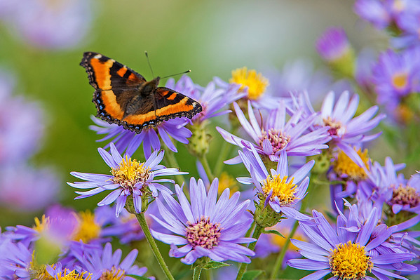 Milbert's Tortise Butterfly on Mountain (American) Aster