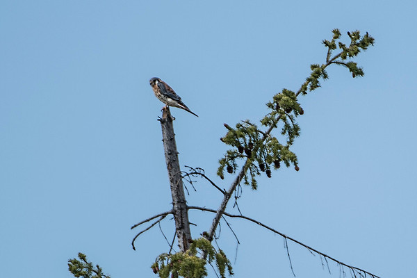 An American Kestrel watched us from far away.