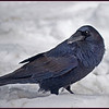 Ravens are mostly seen as a Black Silhouette.  The light exposes the blue iridescance and contrast of his feathers.