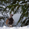 Spruce Grouse - Franklin's subspecies