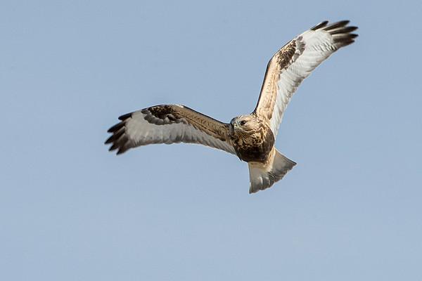 A mature rough-legged hawk.