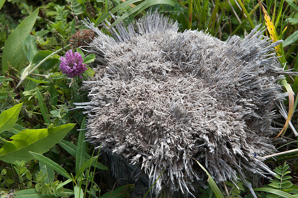 A Red Clover adorns a frayed stump.