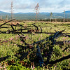 Burnt timber and fireweed adorn this logged area only a few months after the fire.