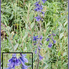 Tall Larkspur (Delphinium Glaucum).  Can cause livestock (especially cattle) poisoning.