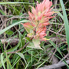Indian Paintbrush one of many wildflowers.
