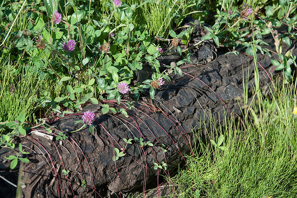 Wild Strawberry vines and Red Clover seem to take a strangle-hold over this fallen log.