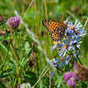 Hydaspe Fritillary Butterfly on Fringed American Aster