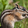 Yellow-pine Chipmunk.
