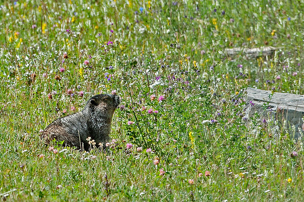 Hoary Marmot... just smelling the flowers.