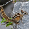 Yellow-pine Chipmunk with 5 black and 4 white stripes on back (3/2 on face).