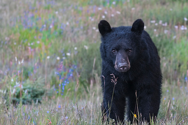 Read about this bear encounter in Gallery Description