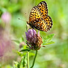 Hydaspe Fritillary Butterfly on Red Clover