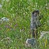 Marmot wildflower garden.