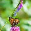 Hydaspe Fritillary Butterfly with Red Clover and American Vetch