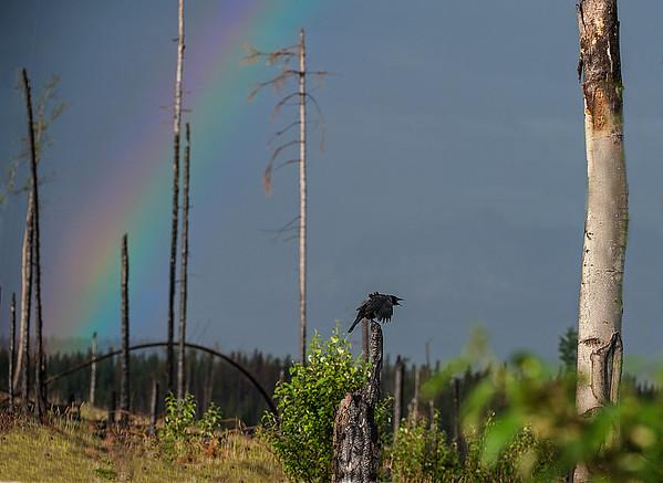 A crow vocalizes under a rainbow.