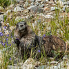 Marmot eating common harebells (Campanula rotundfolia).