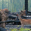 White-tail Deer finds nourishment and refuge in the burnt landscape.