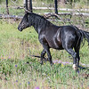 The white sock on the hind left leg helped to identify Thunderbolt as the same stallion we met earlier.