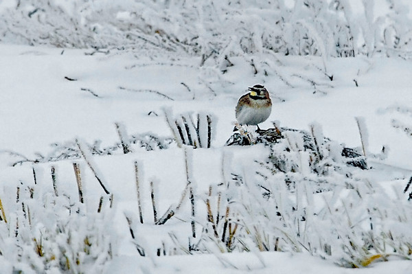 Horned Larks have just arrived back from wintering in the USA.  (Like snow birds eh!)  They are one of the few small song birds that normally are seen on the ground.