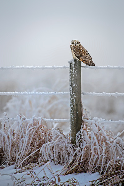 This short-eared owl sits on a magnificant perch.