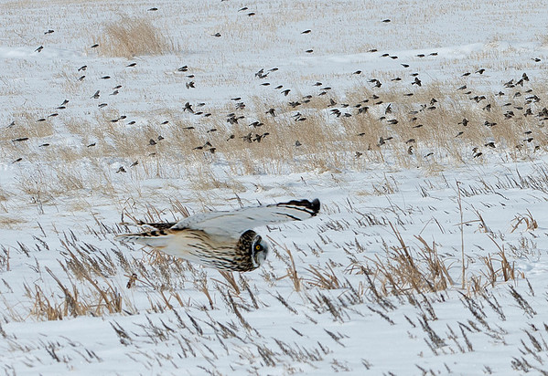 Short-eared owls feed on rodents, birds and insects, however these owls didn't seem to bother with some nearby flocks of redpolls.