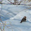 Redpoll in the sparkling snow.  A good year for Redpolls being around.