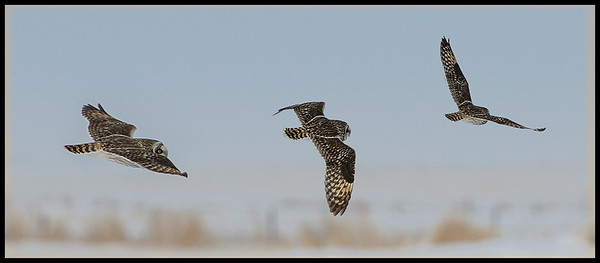 Composite of 3 photos of owl flying off.