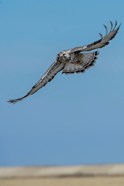 Rough-legged Hawk (light adult)