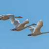 Tundra Swans - Tight formation