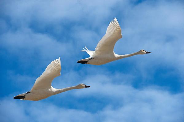 Syncronized Flying - Tundra Swans