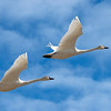 Syncronized Flying - Tundra Swans